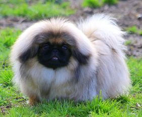 Moshka Pekingese Our Girls Pekingese Pekingese Dogs