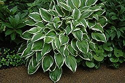 So Sweet Hosta Hosta So Sweet At Gardener S Supply Company In