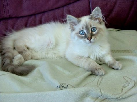 Pin By Claire On For The Love Of Cats Siberian Cat Beautiful Cats Puppies And Kitties