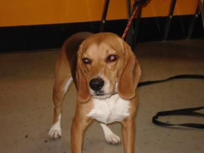 42598293 Available 9 5 Adoptable Dog Adult Male Beagle Mix