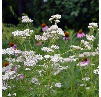 White Yarrow Achillea Millefolium Flowers Perennials Achillea Millefolium Pollinator Garden