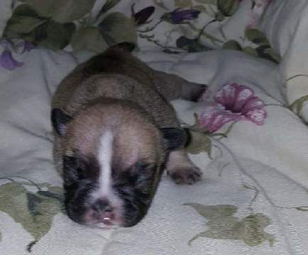 French Bulldog Puppy For Sale In Rochester Mi Adn 64479 On Puppyfinder Com Gender Female Age Bulldog Puppies For Sale Puppies For Sale French Bulldog Puppy