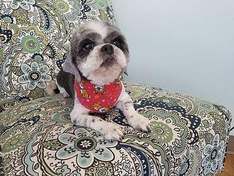 Lawrenceville Ga Shih Tzu Meet Beanie A Dog For Adoption