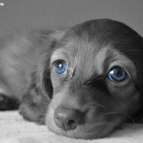Blue Eyes Dachshund Daschundpuppies Cutepuppyeyesdrawing
