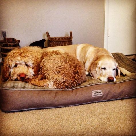 Curly or straight?  #LLBean Dog Bed #LLBeanPets
