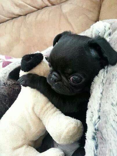 Pin By Sheryl On Sheryl S Picks Baby Pugs Cute Dogs Pugs