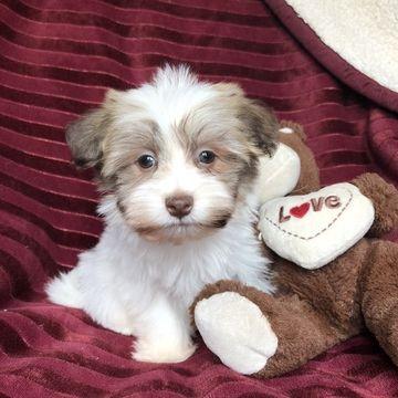 Havanese Puppy For Sale In Houston Tx Adn 63973 On Puppyfinder