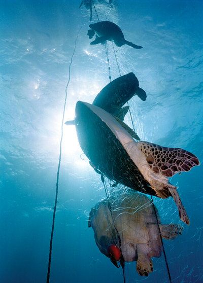 A PLASTIC Ring From A Sixpack Of Beer Carelessly Tossed Into The - These six pack rings feed sea creatures rather than harm them