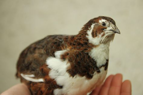 Tuxedo Coturnix Quail Hatching Eggs By Myshire 25 4 Different Color Varieties!