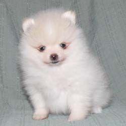 Pomeranian Breeders Pomeranian Puppies For Sale Pomeranian Puppy Pomeranian Pomeranian Puppy For Sale