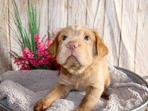 Puppies For Sale In 2020 Puppies For Sale Puppies Dogs