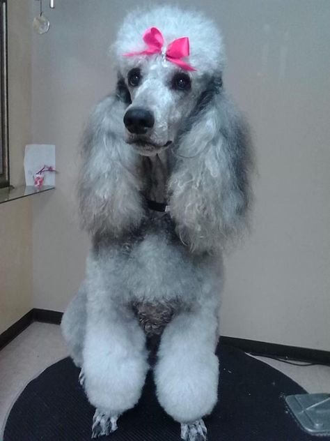 Standard Poodle Puppies Platinum Silvers Blues In Cape Coral