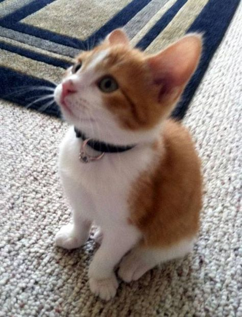 """A new kitten with an engagement ring on its collar?!?! Who could say no? omg! it should have a note that says """"meowy me?"""" ^-^"""