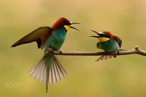 threads - bee-eaters on the perch