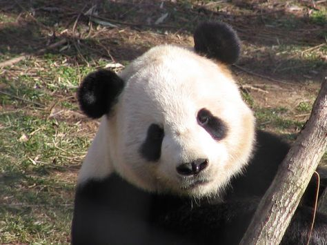 Oso Panda en su hábitat