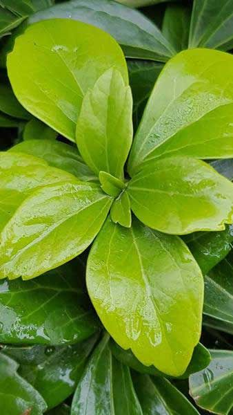 Pachysandra Terminalis Green Sheen Evergreen Ground Cover Plants Benefits Of Gardening Ground Cover Plants