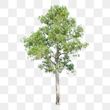 Tree Png Images Download 85000 Tree Png Resources With Transparent Background Tree Photoshop Tropical Tree Green Trees