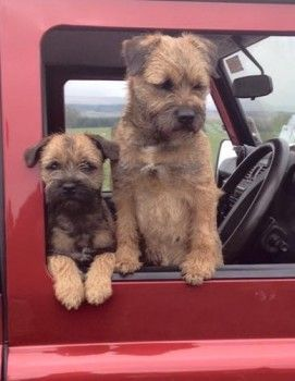 Lost Red Grizzle Border Terrier Female In North East Dg14