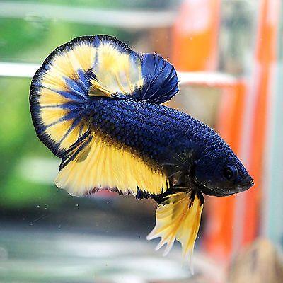 500 Gambar Yellow Base Terbaik Di 2020 Ikan Cupang Ikan Ikan Eksotis