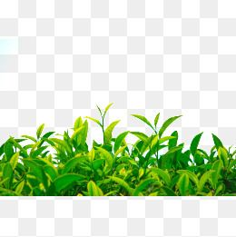 download tea tree png clipart green tea tea tree oil - tea tree leaf PNG  image with transparent background | TOPpng