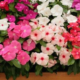 Vinca Mixed Color Periwinkle Mixed Color Desi Flower Seeds In 2020 Annual Flowers Flower Seeds Annual Plants