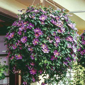 Bijou Clematis Spring Hill Nurseries Hanging Plants Container Gardening Planting Flowers