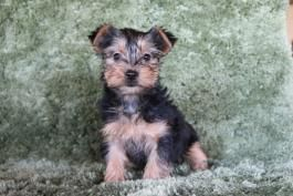 Puppies For Sale Buckeye Puppies In 2020 With Images Puppies