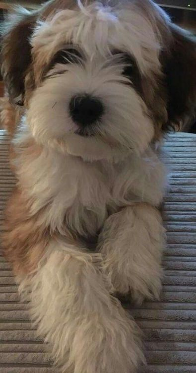 All The Things I Admire About The Outgoing Havanese Dog Havanesepuppylove Havanesepuppy Havanesefacts Havanese Dogs Havanese Puppies Havanese