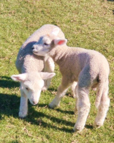 fuzzy lambs playing in the sun ✨ Cute Baby Animals, Farm Animals, Animals And Pets, Cute Creatures, Beautiful Creatures, Alpacas, Just In Case, Fur Babies, Sheep
