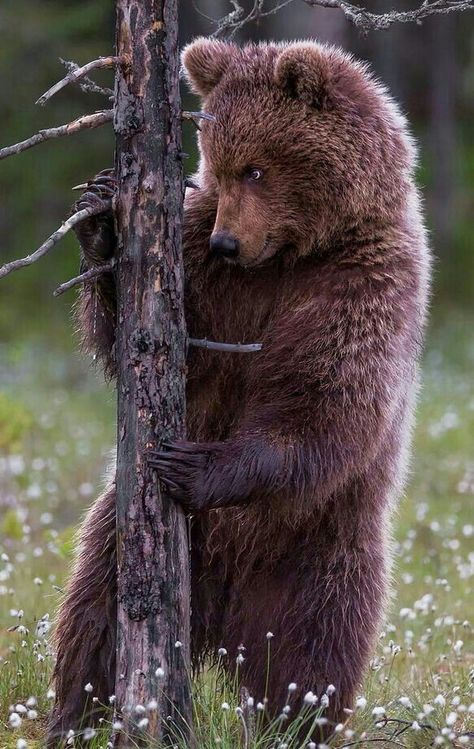 Bear intent on tree
