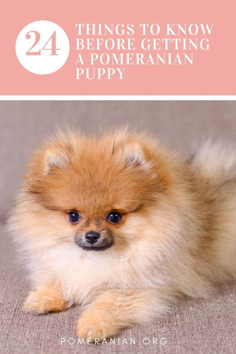 Pros and Cons of a Pomeranian as a Pet. What You Should Know Before Getting a Pomeranian Puppy. Getting a pomeranian puppy facts Teacup Pomeranian Puppy, Teacup Chihuahua Puppies, Teddy Bear Puppies, Baby Puppies, Cute Puppies, Dogs And Puppies, Pomeranian Facts, Yorkie Dogs, Bulldog Puppies