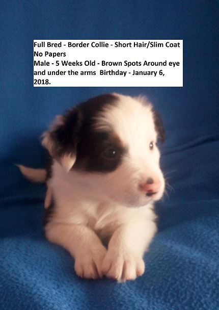 Litter Of 5 Border Collie Puppies For Sale In Vernal Ut Adn