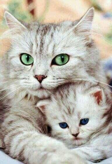 Mommy And Kitten Cute Cats Adorable Kitten Kittens