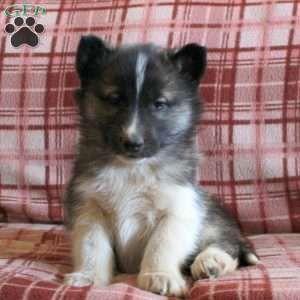 Giselle Agouti Siberian Husky Puppy Siberianhusky Siberian