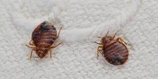 نحن شركة متخصصة فى مكافحة حشرات بالمدينة المنورة و مكافحة بق الفراش بالمدينة المنورة حيث اننا افضل شركة م Bed Bug Bites Bed Bugs Treatment Bed Bugs Infestation