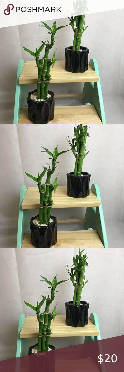 Lucky Bamboo Plant Art 3 4 Stalk
