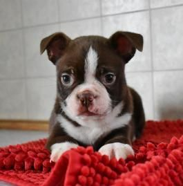 Boston Terrier Puppy For The Love Of Boston Terriers Boston