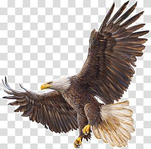Bald Eagle Drawing Eagle Transparent Background Png Clipart Eagle Drawing Bald Eagle Eagle Painting