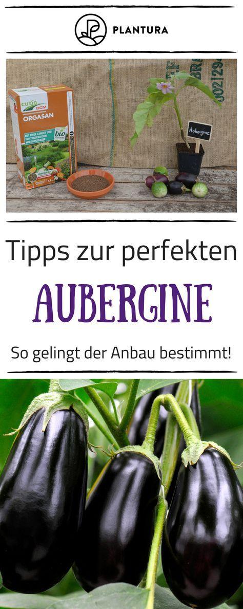 Auberginen Anbauen Bei Uns Findet Ihr Die Besten Tipps Zur Perfekten Aubergine Damit Der Anbau Im Eigene Auberginen Pflanzen Gemuse Anpflanzen Gemuse Anbauen