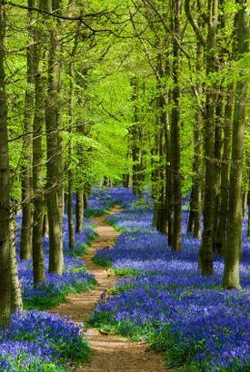 England, Hertfordshire, Ashridge. A sunlit path leading though bluebells in Dockey Wood.
