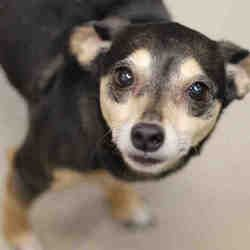 Fort Wayne Indiana Chihuahua Meet Darby A For Adoption Https