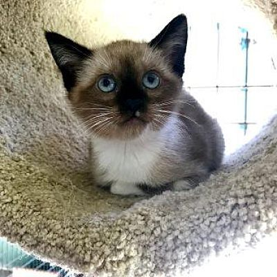 Lathrop Ca Domestic Shorthair Meet Angel A Cat For Adoption