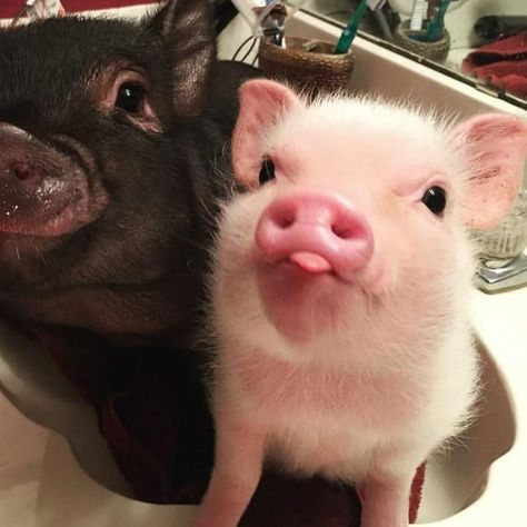 Images Of Cute Animals To Color into Cute Baby Animals Funny & Cute Animals Baby Video at Cute Christmas Animals Photos though Cute Images In Animals Cute Baby Pigs, Baby Animals Super Cute, Cute Piglets, Cute Little Animals, Cute Funny Animals, Cute Dogs, Baby Piglets, Baby Animals Pictures, Cute Animal Photos