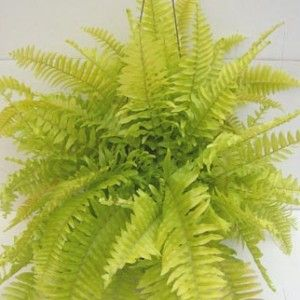 HousePLNTS Collection Nephrolepis Blonde