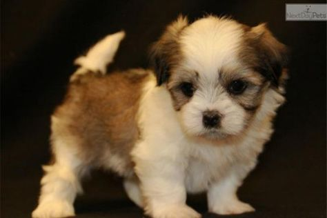 Dogs And Puppies For Sale And Adoption Dog Pictures Dogs Dog Breeder