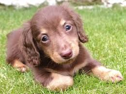 Image Result For Mini Dapple Dachshund Full Grown Dapple