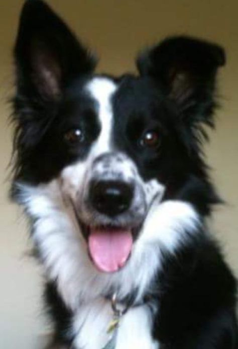 Bree Is An Adoptable Border Collie Searching For A Forever Family Near Atlanta Ga Use Petfinder To Find Adoptable Border Collie Dog Border Collie Rescue Dogs