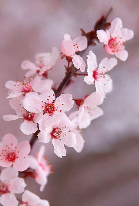 Kirschblüten in voller Blüte im ABQ BioPark Botanic Garden, #ABQ #BioPark #Blüte #Botanic #fl...