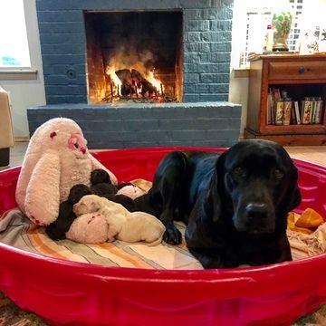 Litter Of 6 Labrador Retriever Puppies For Sale In Austin Tx Adn 64196 On Puppyfinder Com Gender Male S Puppies For Sale Labrador Retriever Puppies Puppies