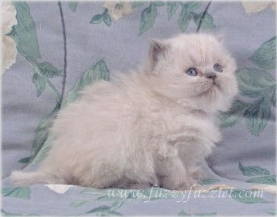 Virginia Doll Face Persian Ct Doll Face Persian Kitten For Sale In 2020 Kitten For Sale Persian Kittens Persian Kittens For Sale